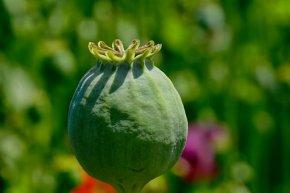 poppy-capsule-3432091__340